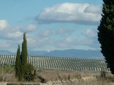 el campo olivar