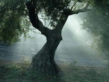 el olivo centenario